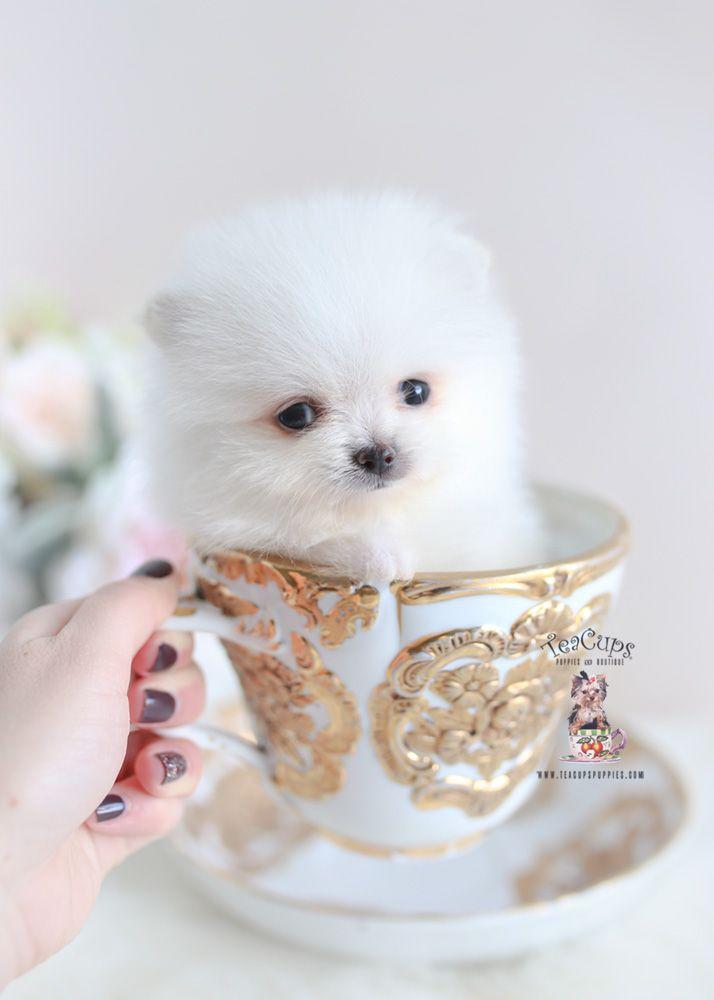 Teacup Pomeranian For Sale 346 A Teacup Pomeranian Pomeranian