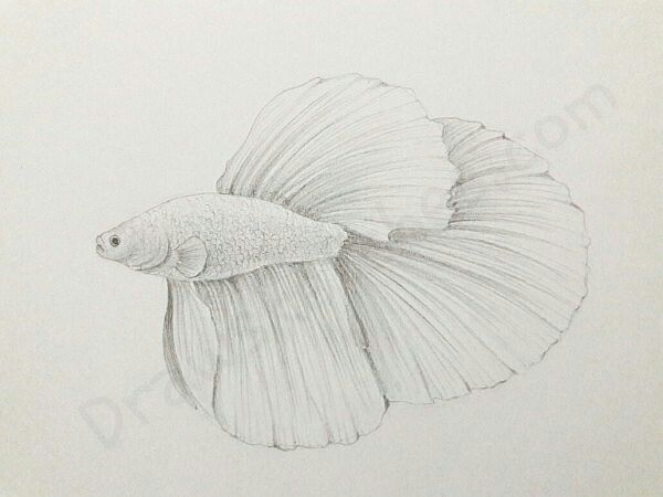 How To Draw A Betta Fish In A Few Easy Steps With Pictures Betta Fish Fish Drawings Drawings