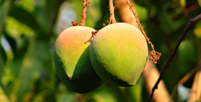 Eight wonderful benefits of mango in the summer