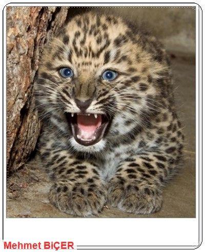 Şirin bebek Leopar