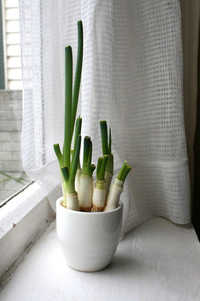 """Eine kleine Anleitung, wie man Frühlingszwiebeln selbst """"anbauen"""" kann."""