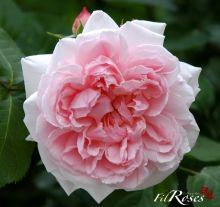 Kathryn Morley - 10/2011 - Très grandes fleurs rose pâle en forme de coupes. Elles sont parfaitement formées et ont une apparence très raffinée. Un rosier attrayant dans des climats tempérés. L'une des plus belles roses. Elle possède un léger parfum de thé, assez rare chez une rose de cette couleur. 1,3m x 1,0m .