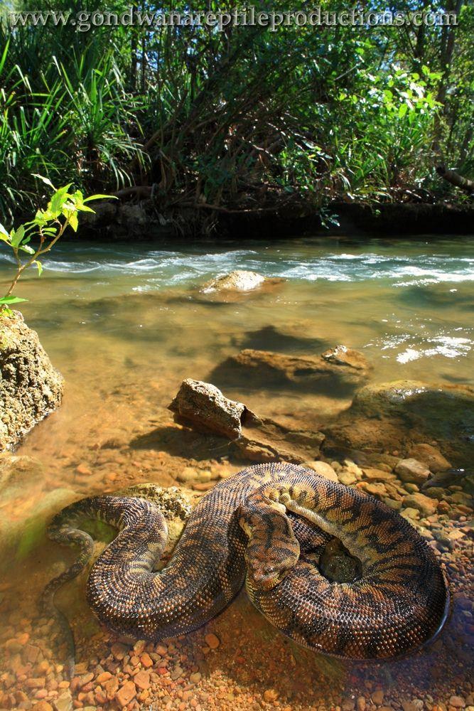 Arafura File Snake (Acrochordus arafurae)   Flickr - Photo Sharing!