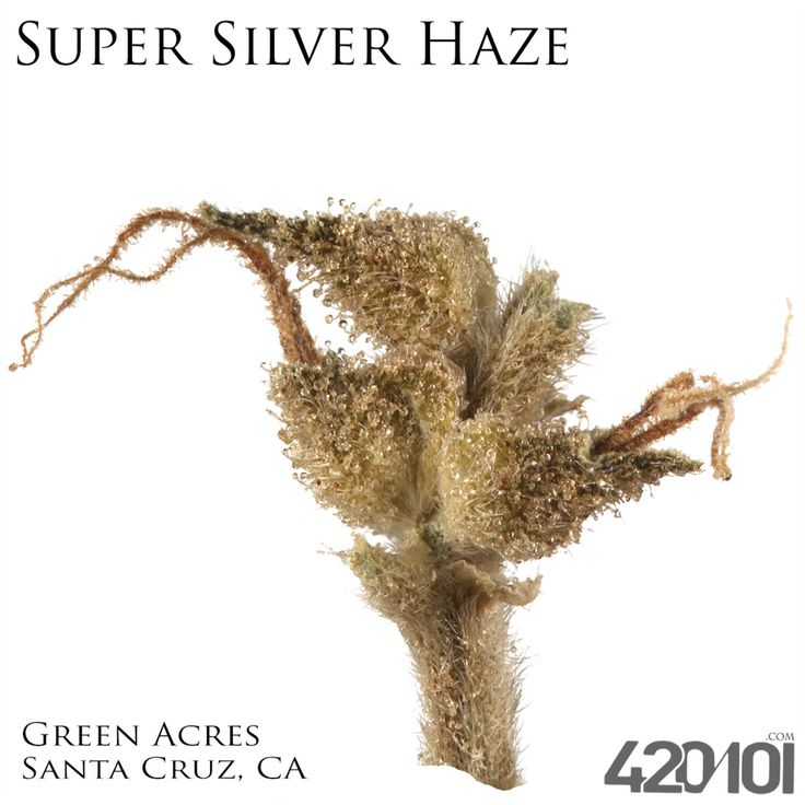Super Silver Haze shot at 1:1 with a Canon Xsi EFS-60 #420Photography #420101 #TrichomeLove