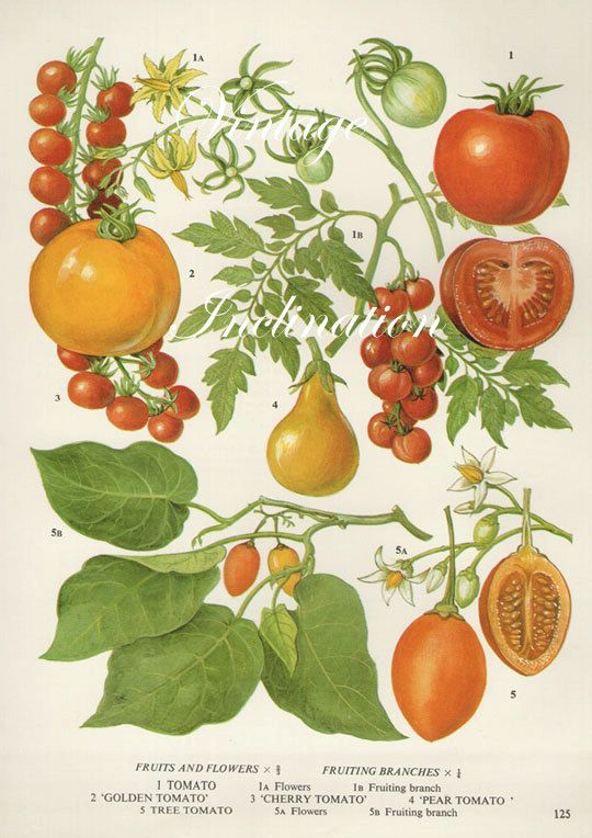 Vintage Botanical Print Antique TOMATOES, plant print botanical print, bookplate art print, vegetables plants plant wall