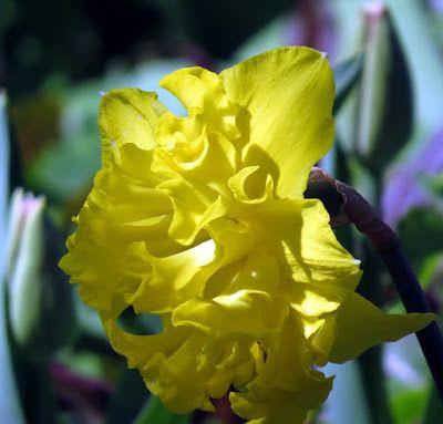 #-neuer Gartentraum- Narzissenblüte