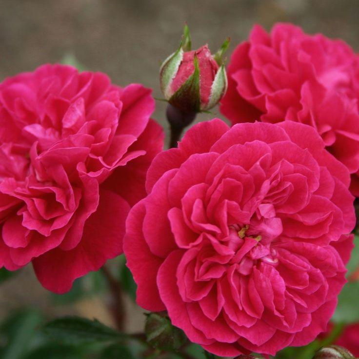 rosen online kaufen roxy rosenpark roses pinterest. Black Bedroom Furniture Sets. Home Design Ideas