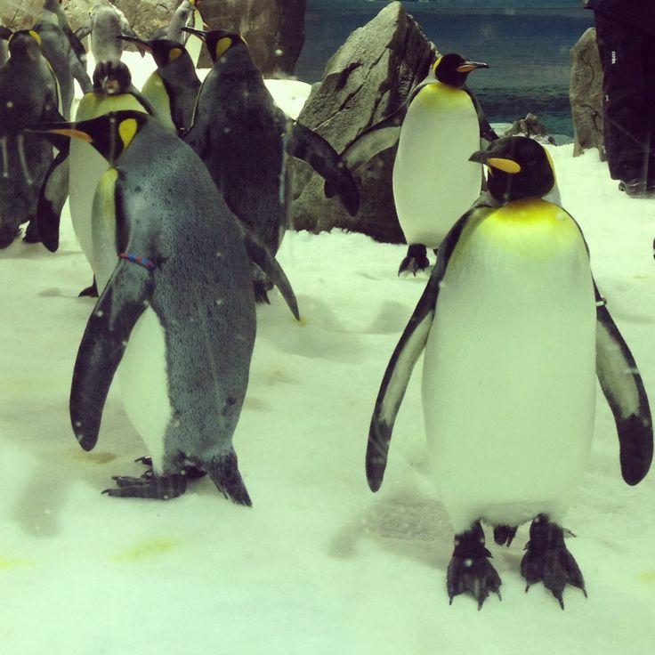 Penguins at Sea World, Gold Coast, Australia!!
