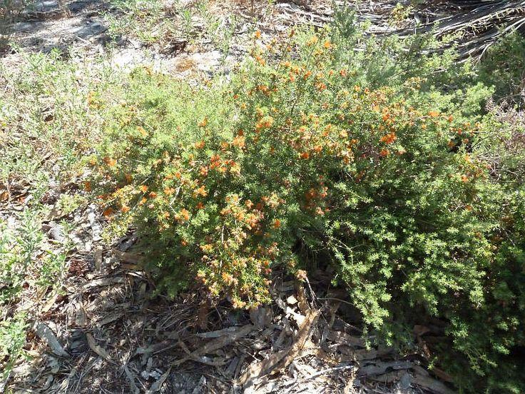 Image result for Eremaea pauciflora