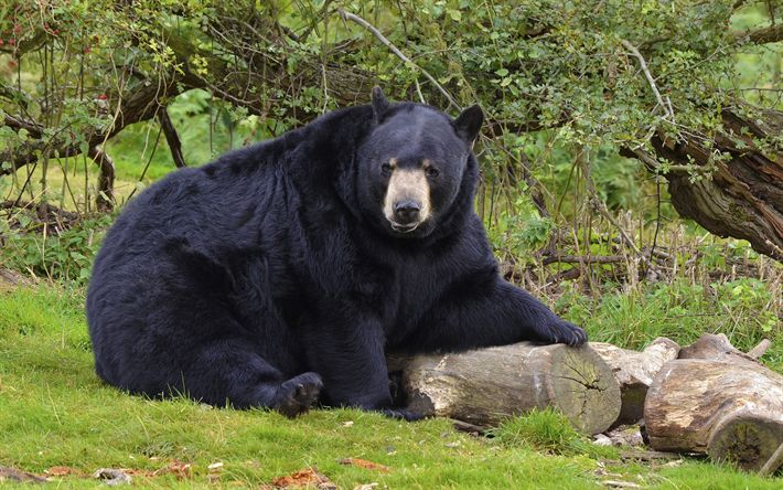 Download wallpapers baribal, 4k, wildlife, black bear, Ursus americanus, bears