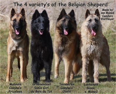 Tervueren, Groenendael, Malinois and Laekenois...love the build & coloring of the 2 middle dogs