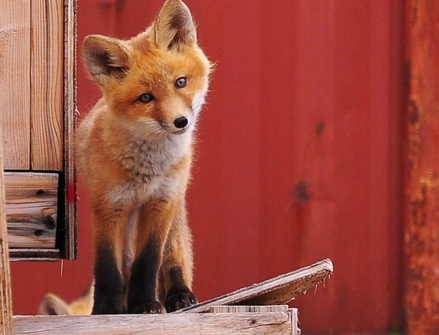 Best Baby Red Fox Ideas On Pinterest Red Fox Pictures Fox - Domesticated baby fox is the cutest and sleepiest pet ever