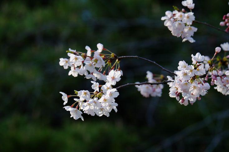 都会のオアシス浜離宮へ。桜は五分咲き程度だが、菜の花には間に合ったようだ。