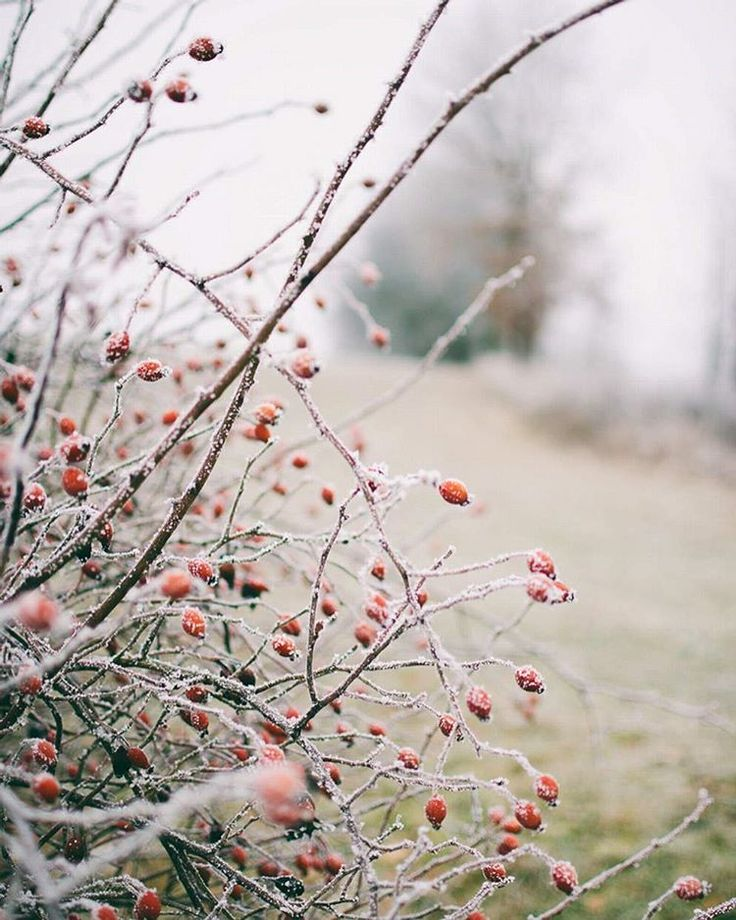 Love rosehips how they're shining in the foggy winter ❤ | For more watch my FB page @fotokvapilova or my IG @pavlina.kvapilova