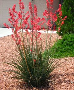 Red yucca 3 to 4 ft. tall and wide; flower stalks to 4 to 6 ft.