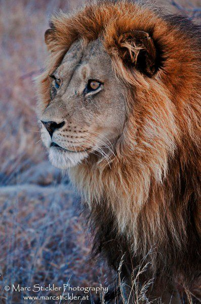 The Beautiful Kalahari Lion!! by Marc Stickler Photography  https://www.facebook.com/pages/Marc-Stickler-Photography/111792888878470