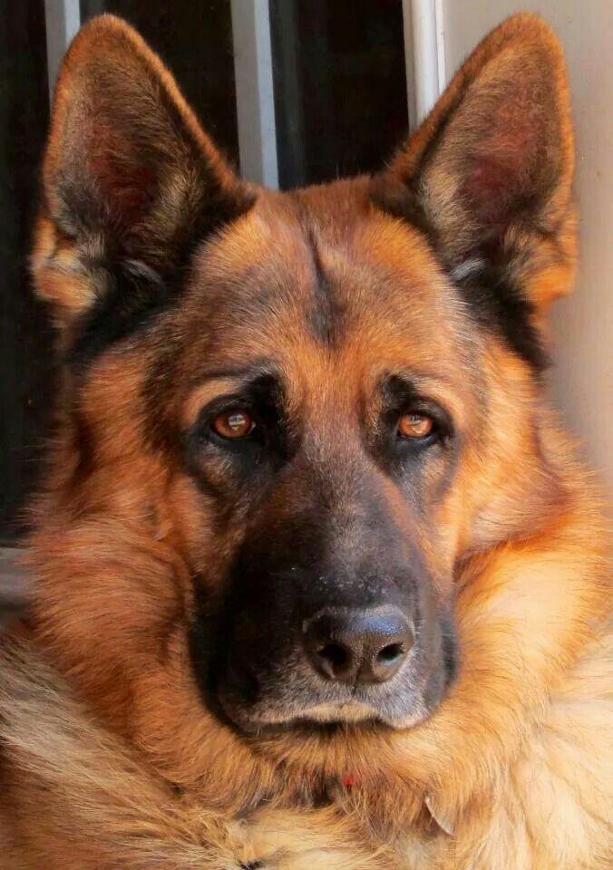Solid Black German Shepherd Dog In 2020 Hondenrassen Duitse Herders Grote Honden
