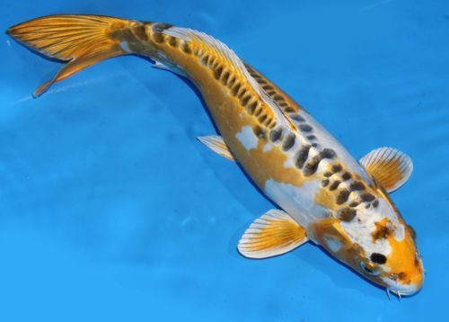 1000 images about koi fish on pinterest for Ghost koi fish