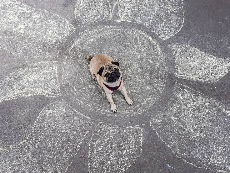 I wanna be your sunshine☀ #mauricethepug #sun #sunshine #sunnyday #spring #happy #puglife #pugchat #pug #mops #dog #puppy