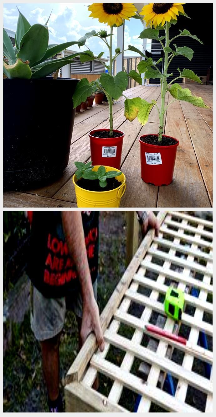 Couldnt Pass Up These 5 Sunflowers From Bunnings Soon Enough My Little Seedling Bunnin In 2020 Seedlings Sunflower