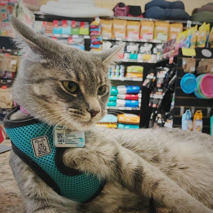 "15 Likes, 1 Comments - Happy Pet Fam (@happypetfam) on Instagram: """"Being the store mascot today ❤️"" - Luna #pets #pet #petstagram #kitten #cat #catlife #monday…"""