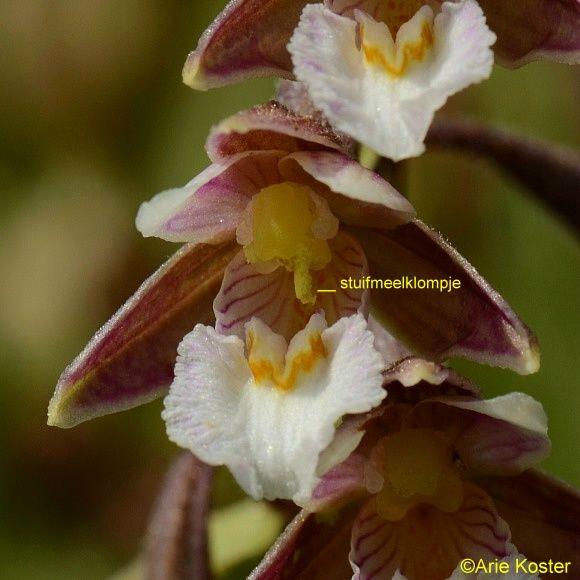 Moeraswespenorchis Epipactis palustris
