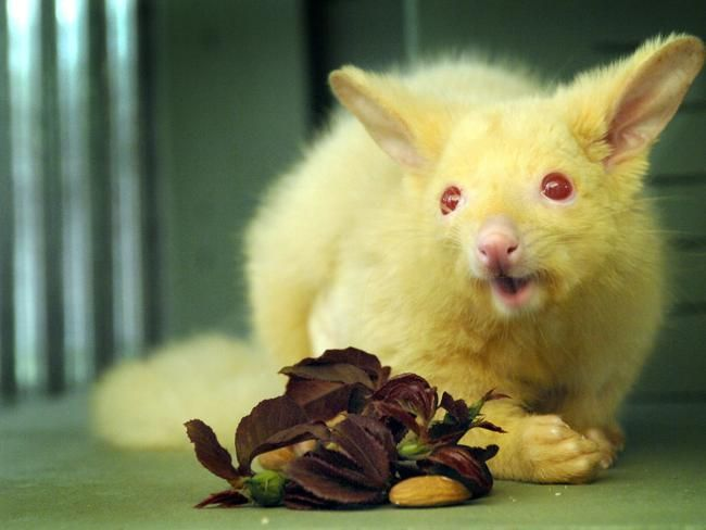 "Albino Possum ""Jaffa"" was rescued by W.R.E.S. (Wildlife Rescue Emergency Service) in Kangaroo Flat, Victoria."