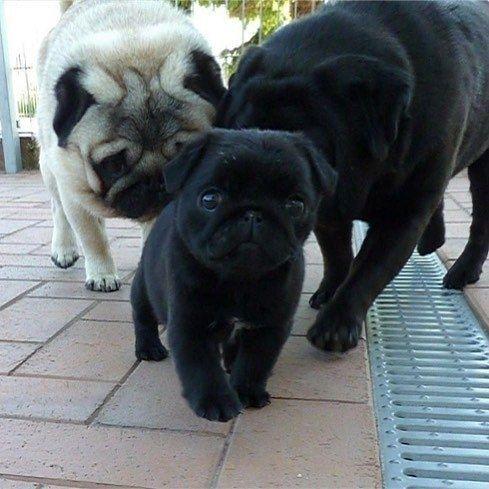 from @pugdashians #pugofhome bio Follow us on facebook (Bio link) . . . #instagood #9gag #dogs #funnyvideo #mops #lmao #puppy #mop #ilovemypug #funny #pugclip #love #teampug #sharpei #cutiedoing #oripeisofinstagram # #obra #doglovers #oripei #enoughisenough #pets #dogmodel #chugsofinstagram #kisses #cutie