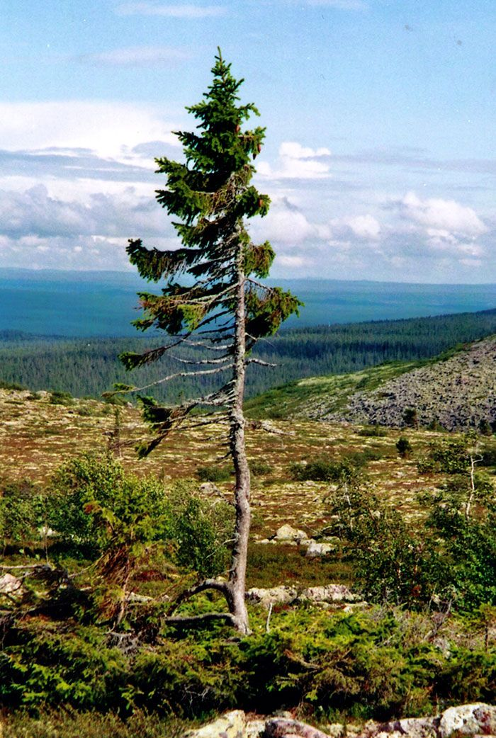 "The world's oldest tree, a 9,500-year-old Norwegian Spruce named ""Old Tjikko,"" after Professor Leif Kullman's Siberian husky, continues to grow in Sweden. Discovered in 2004 by Kullman, professor of Physical Geography at Umeå University, the age of the tree was determined using carbon-14 dating. Photo, Karl Brodowsky."