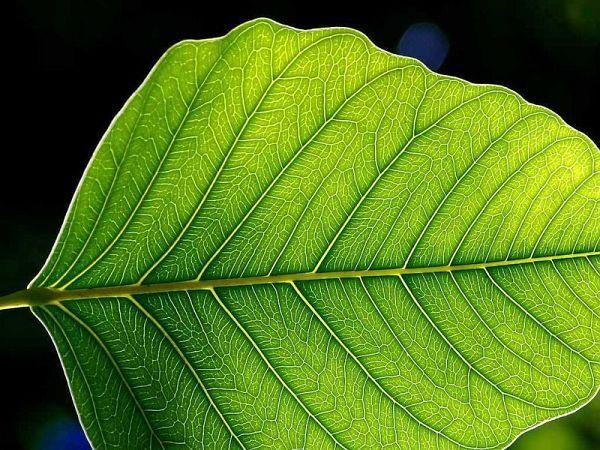 leaf trong Từ điển Anh Việt - English Vietnamese Dictionary