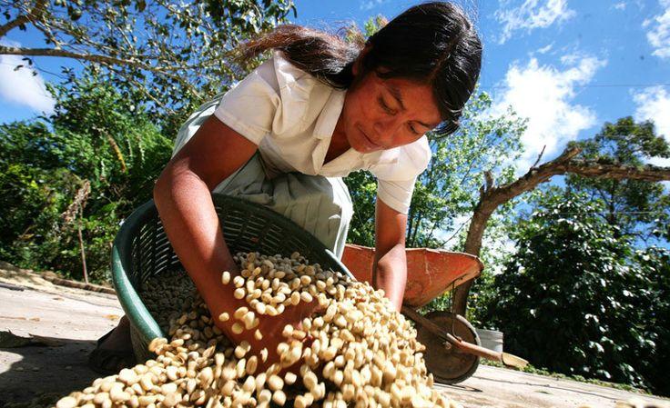 Honduras: Exportación de café deja $783 millones en divisas  http://www.latribuna.hn/2016/08/09/exportacion-cafe-deja-783-millones-divisas/