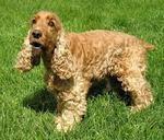 Lovely English Cocker Spaniel dog