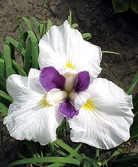 Japanese Fortune iris....  Have never grown Japanese iris before.