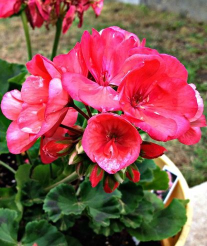 4 easy tips for potted geraniums, container gardening, flowers, gardening, how to