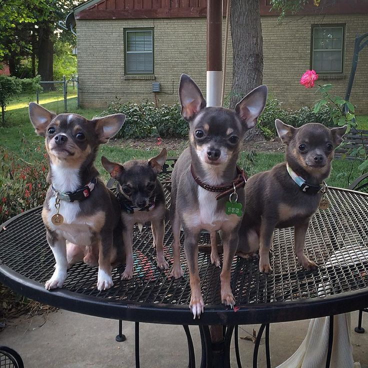 Chihuahua Love @thechibrothers on Instagram Blue Chihuahua Black and Tan Chihuahua
