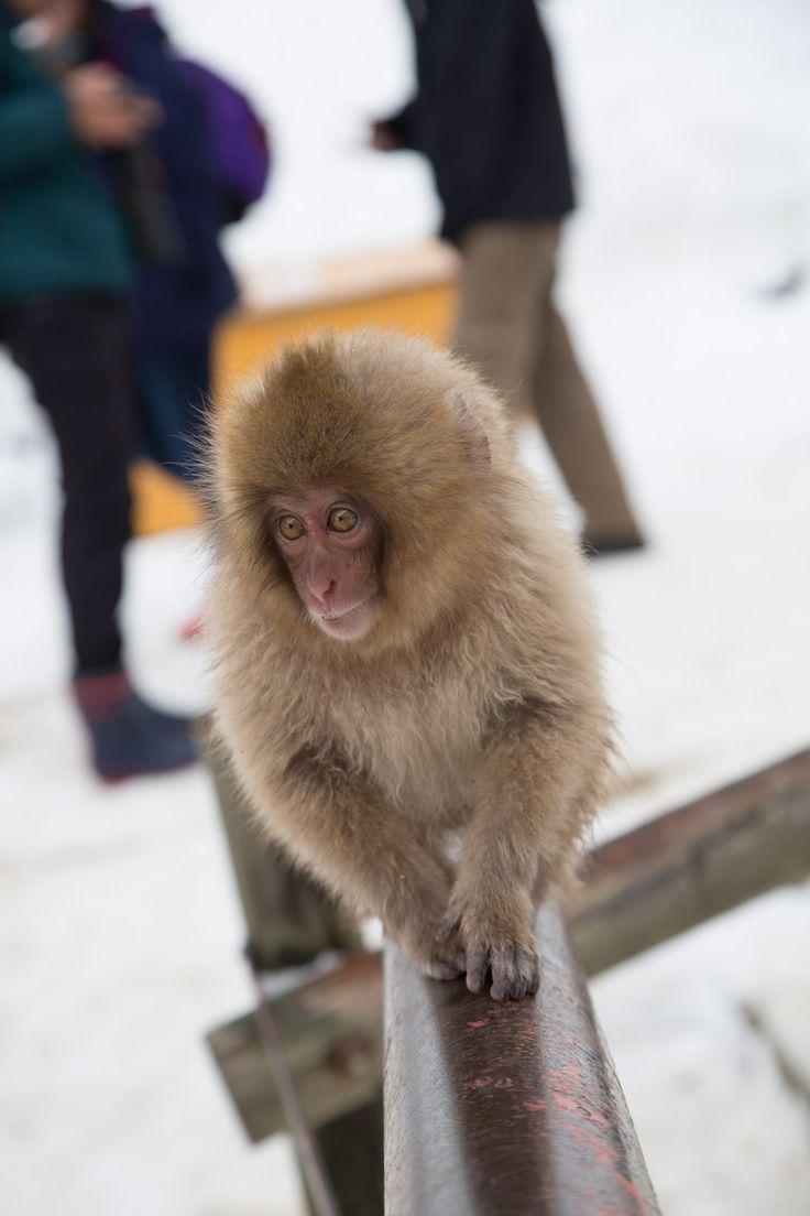 Baby Snow Monkey in Japan