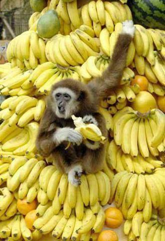 Look, mine all mine * * You better LOOK monkey; there might be tarantulas in that banana bonanza.