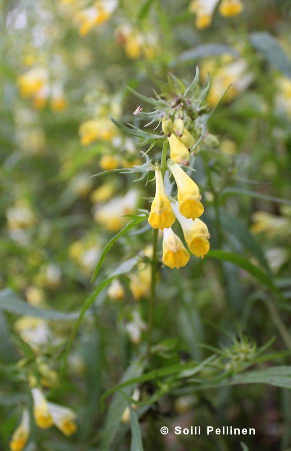 Kangasmaitikka (Melampyrum pratense) Photo Soili Pellinen. -Isompi ,suorempi kukka kuin metsämaitikalla,usein valkotorvinen