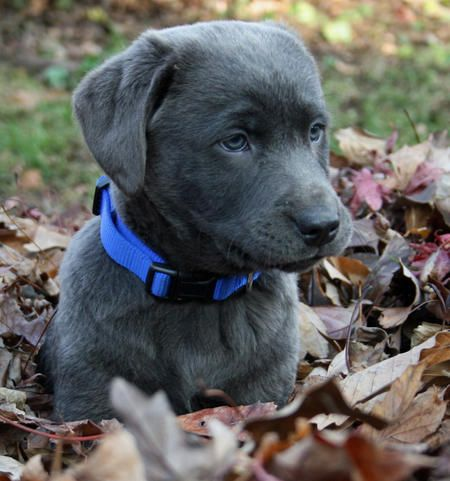 Look at this cute little guy!! Quickly falling in love with Silver Labs ^^