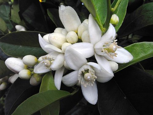 10 Recipes with Neroli Essential Oil – Citrus aurantium ssp amara/Bigaradia