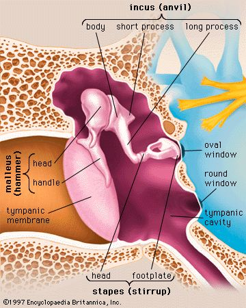 Auditory System:  Inner Ear Ossicles Anatomy