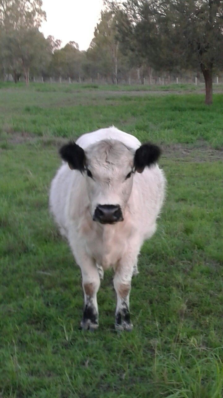 Miniature Galloway Cow For Sale 2019 Qld Australia