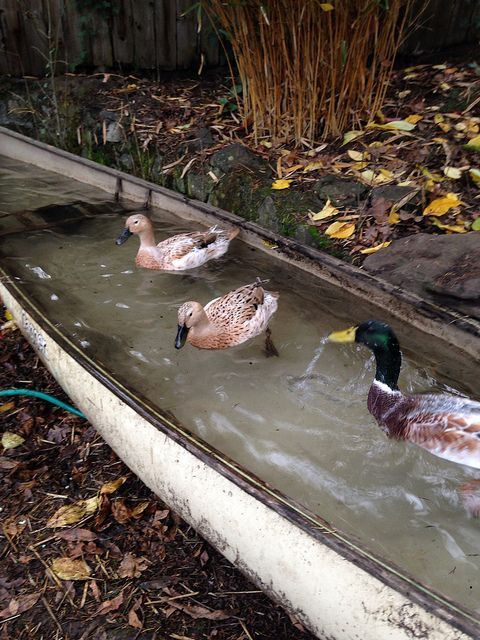 Put an old canoe on bricks, install a   drain faucet, then fill up with water.  The ducks love racing back and   forth.