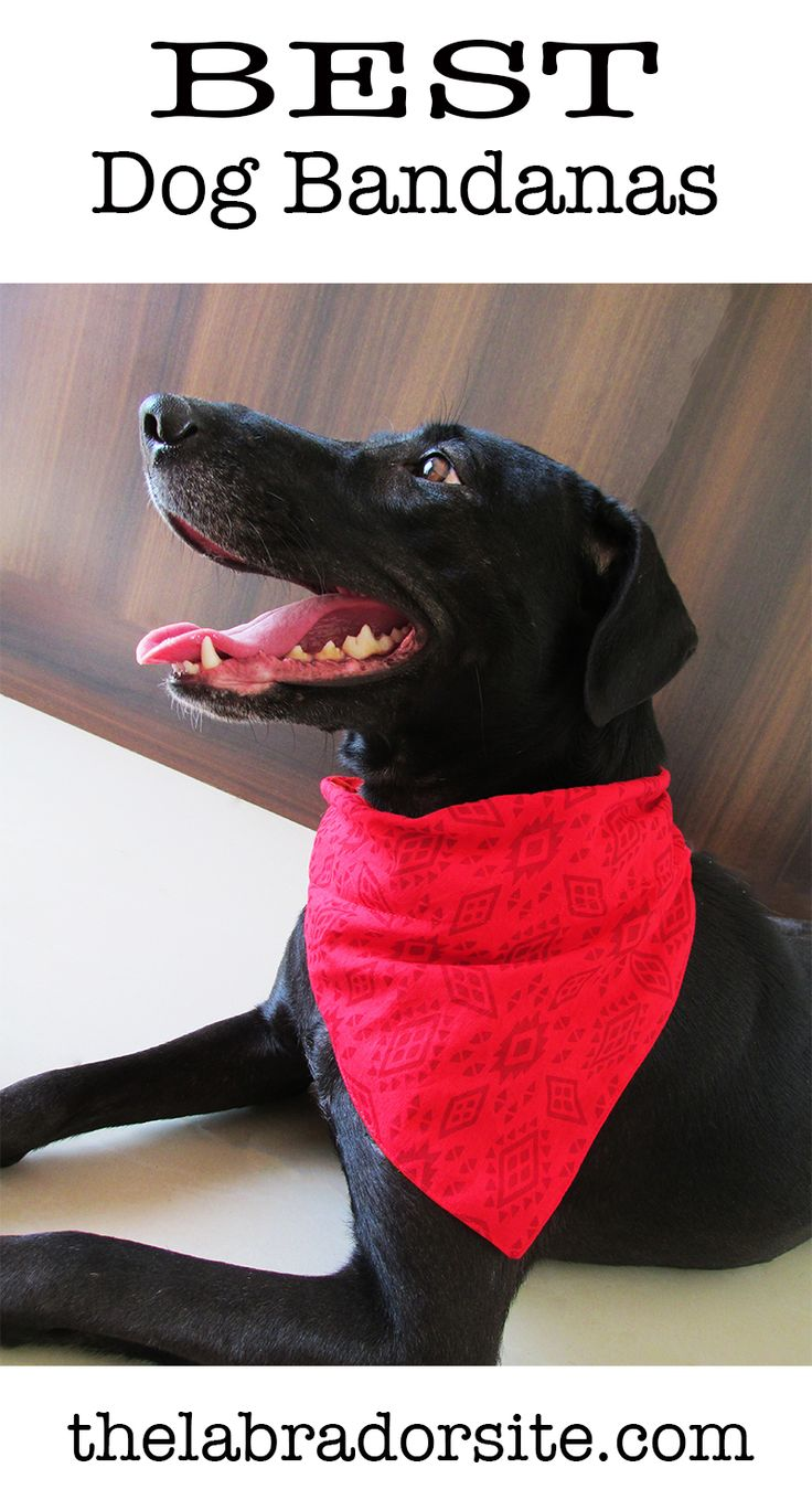 Best Dog Bandanas For Labradors And Other Larger Breeds Dog Bandana Labrador Retriever Puppies Labrador