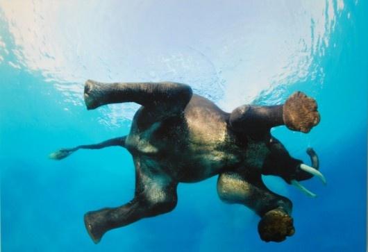 elephant swimming: Elephants Swim, Animal Photography, Andaman Islands, Underwater Photography, Swim Elephants, Stevebloom, Swimeleph, Steve Bloom, Swimming