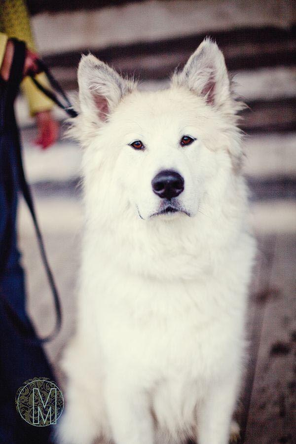 Great Pyrenees Husky Mix Size Dog Breed Information Husky Mix