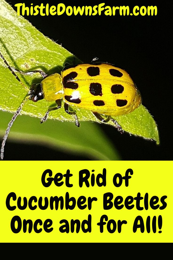 How to get rid of cucumber beetles thistle downs farm in
