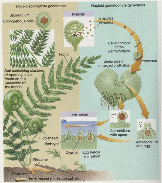 Life cycle of ferns
