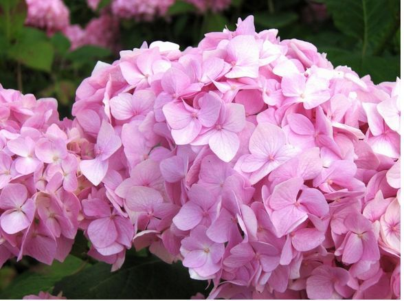 Hydrangeas are crazy - mine start out this color, turn blue later in the summer, and right before fall, they turn purple. My soil must be crazy.
