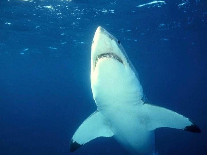 219 best hd wallpaper images on pinterest hd wallpaper great white shark wallpaper hd voltagebd Images